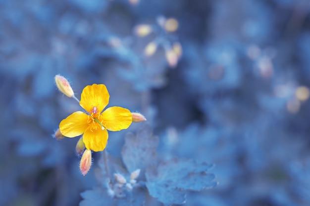 青い背景をぼかした写真のクサノオウの明るい黄色の花