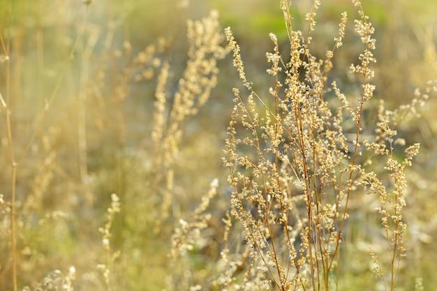 自然環境。秋の風景。黄金の乾いた草