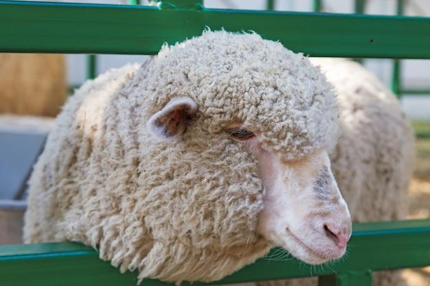 羊は外でフェンスの後ろにクローズアップ。
