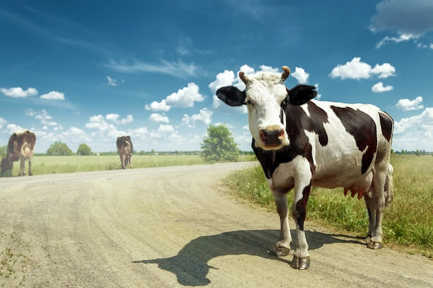 Запятнанная корова пася на красивом зеленом луге против голубого неба.