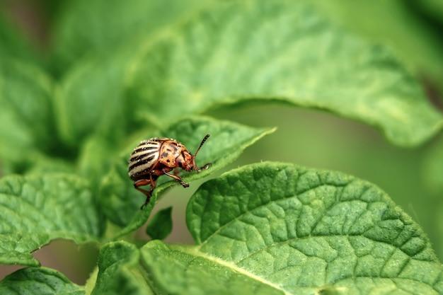 コロラド州のカブトムシはジャガイモの葉を食べる。