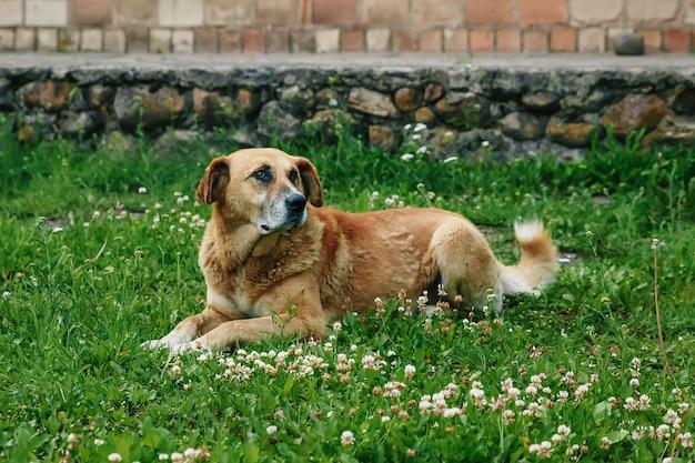 Рыжая собака лежит на газоне
