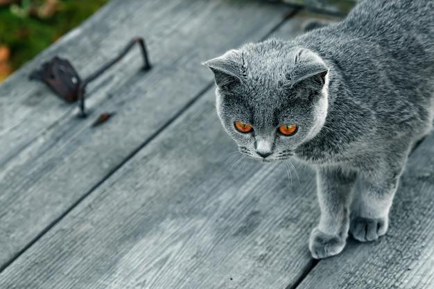 Серый кот с желтыми глазами на деревянном столе сверху в серый. порода шотландская прямая