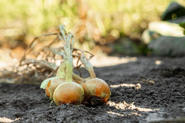 庭の新鮮な玉ねぎ、クローズアップ、有機野菜。庭、コテージ、収穫の概念。