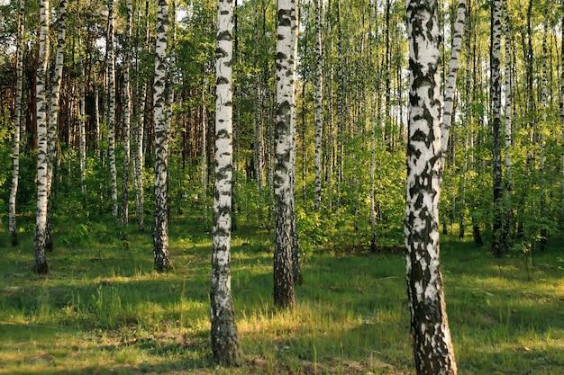 Березовый лес. березовая роща. белые березовые стволы