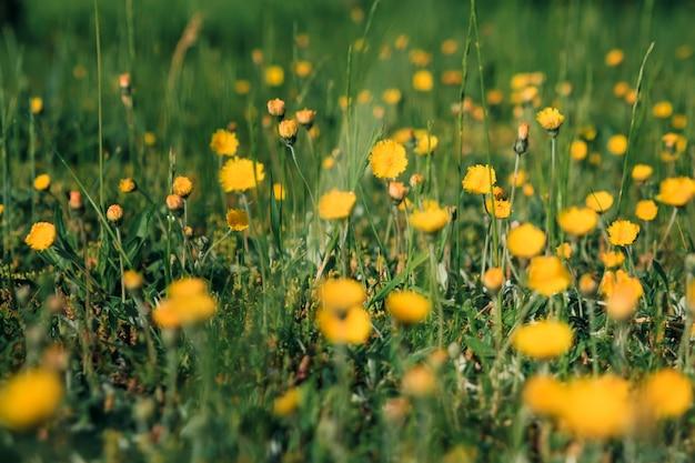 黄色のタンポポ。緑の春の牧草地の背景に明るい花タンポポ。