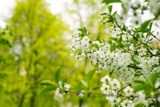 Ветка цвести яблоня и голубое небо с солнцем