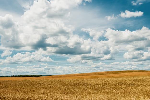 大麦の黄色のフィールド