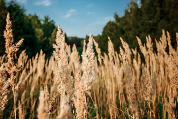 日没の草の野生のフィールド