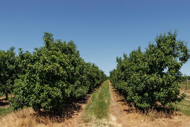リンゴ園、木の列、ガーデニング