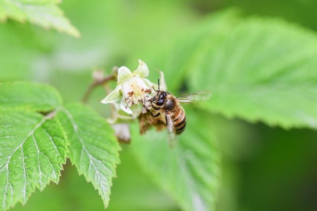 花に蜂フラワーローチミツバチは蜜を集める