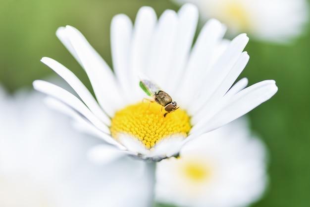 Пчела-пчеловод садится на цветок ромашки и собирает пыльцу.