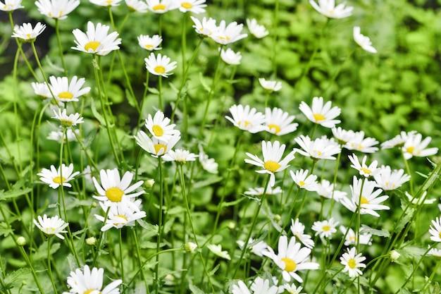 Ромашковое поле. много красивых белых ромашек.