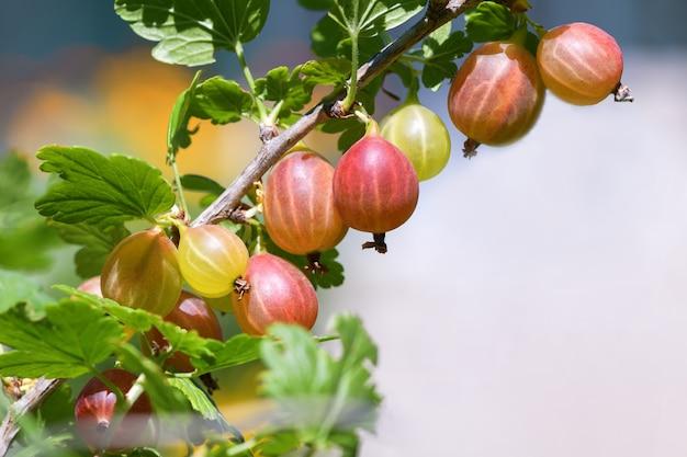 庭で熟した赤と緑のグーズベリーの束