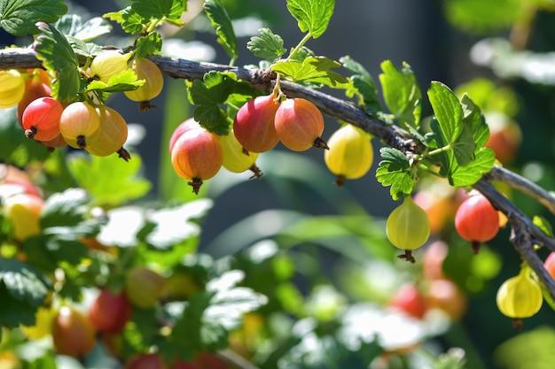 多くの果実は庭の枝に赤いグーズベリーを熟しています。水平写真