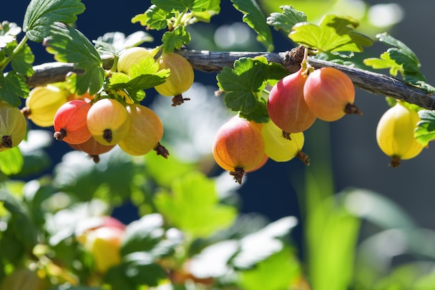 赤いグーズベリーの果実。多くの果実は庭の枝に赤いグーズベリーを熟しています。水平写真