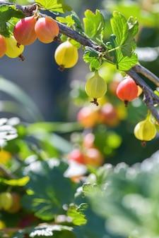 赤いグーズベリーの果実。多くの果実は庭の枝に赤いグーズベリーを熟しています。垂直写真