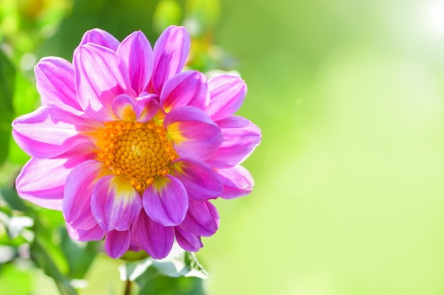 ダリア。緑の晴れた日にピンクのダリアの花