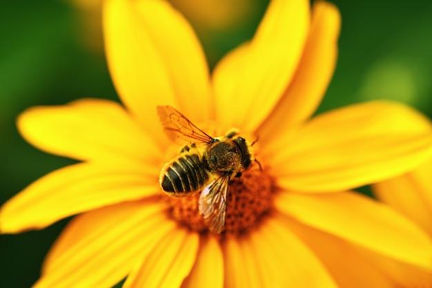 黄色の花の上に座っている大きな縞模様の蜂のクローズアップ平面図。