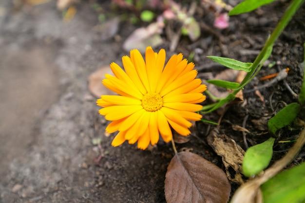 Календулы. один большой желтый цветок календулы в саду