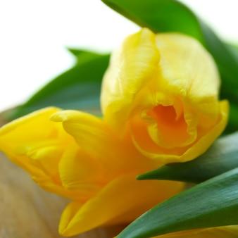 春の美しい黄色いチューリップ