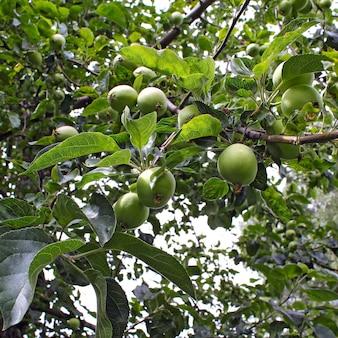 木の上の緑のりんご