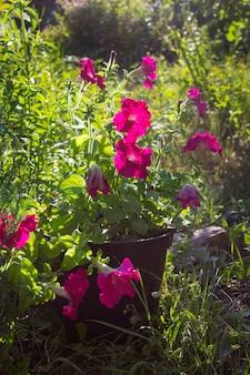 Цветочная петунья летом в саду