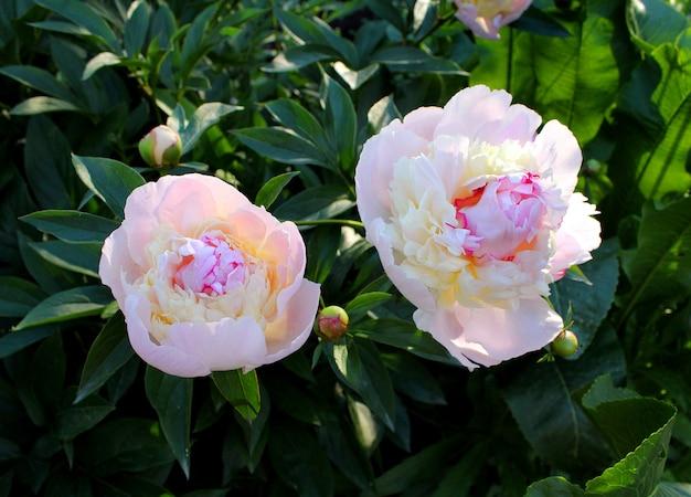 美しいピンクの牡丹の庭の花