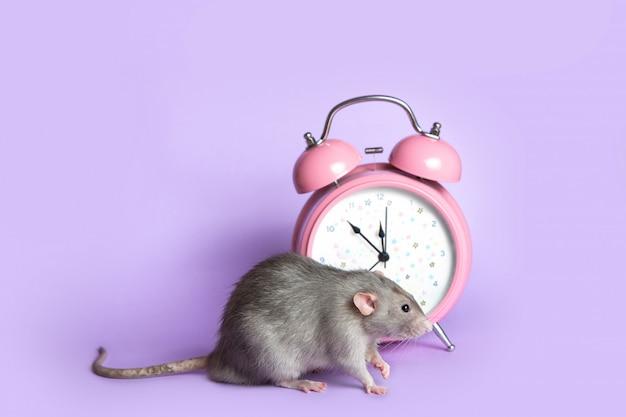 薄紫色の背景の目覚まし時計の横にある灰色ネズミ。魅力的なペット