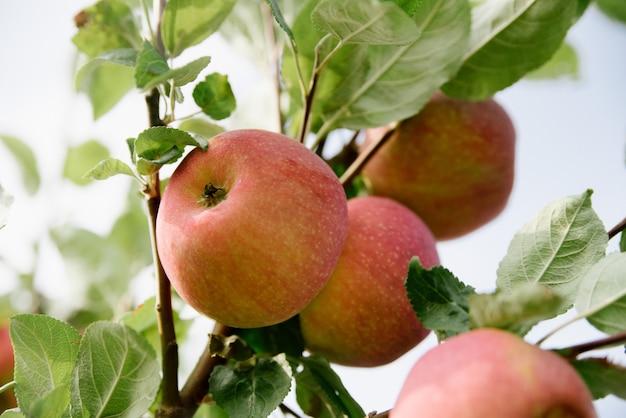 枝に赤いリンゴ