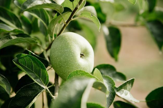 枝に緑のリンゴ
