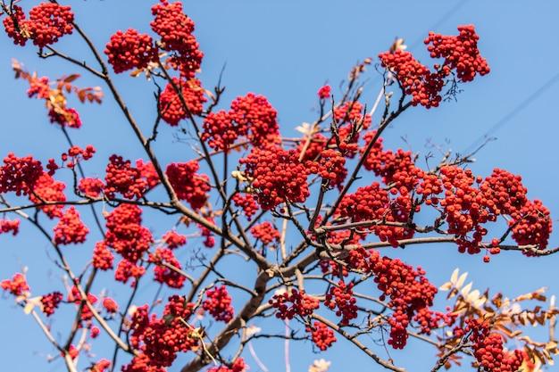 ナナカマドの果実の森の葉のテクスチャ背景