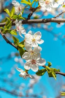 푸른 하늘에 ã â¡herry 매화 꽃
