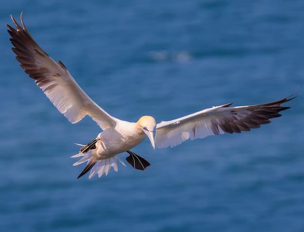 Взрослая олуша охотится на рыбу возле колонии северных олуш в басс-рок в северном море, великобритания.