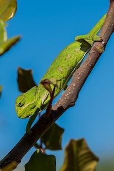 몰타의 캐롭 나무 위를 천천히 움직이는 아기 지중해 카멜레온