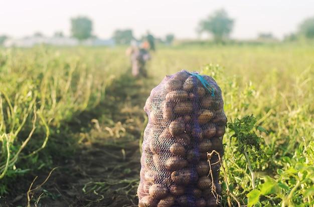 Мешок с картошкой стоит на земле после сбора урожая. осенний сбор органических овощей