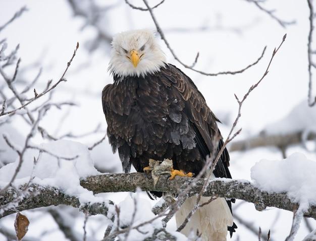 Белоголовый орлан сидит на дереве