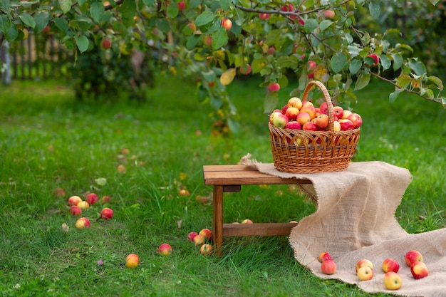 芝生の上の木製のベンチにリンゴの入ったバスケットが立っています。リンゴ園での収穫。