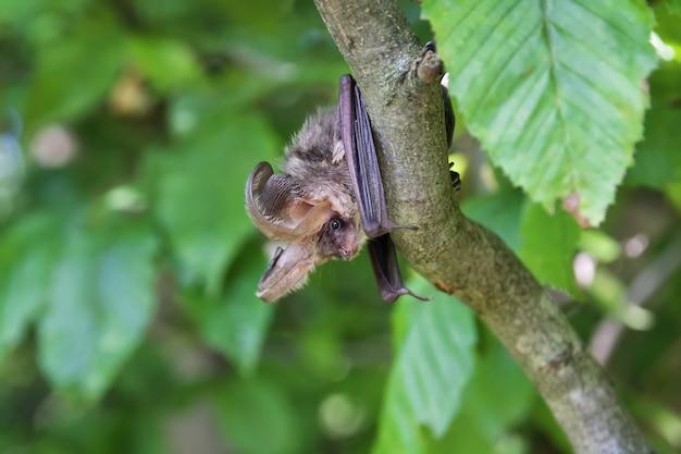 잎 사이에서 낮 동안 나무에 매달려있는 박쥐