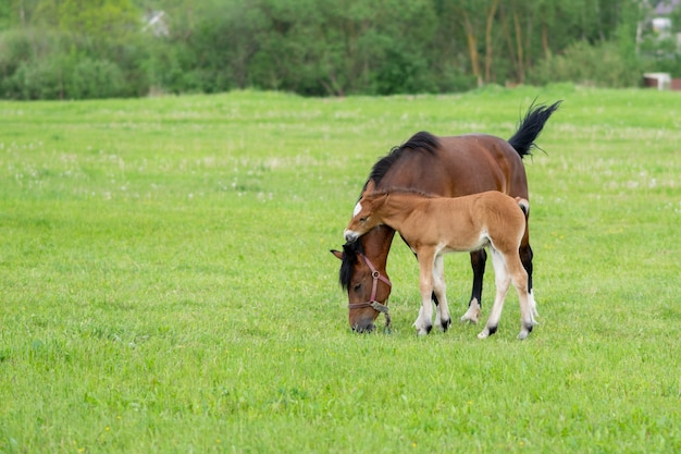 放牧中の野原に子馬がいる馬。高品質の写真