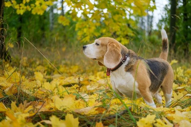 Бигль на прогулке в осеннем парке на фоне желтой листвы