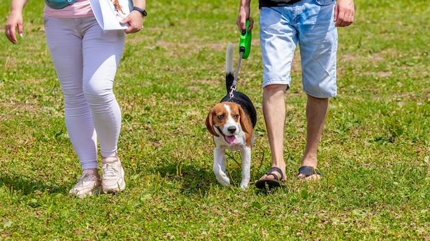 Бигль гуляет по парку рядом с людьми, их хозяевами