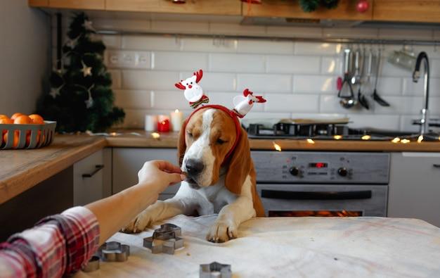 頭にクリスマスの飾りが付いたビーグル犬が、キッチンの後ろ足でおやつを待っています。ペットのためのクリスマス