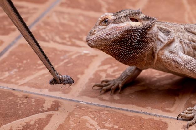 コオロギを食べる髭があるドラゴン。 Premium写真