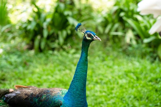 緑の鳥公園を歩くおしゃれクジャク