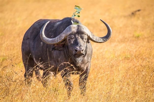 Красивый африканский буйвол в национальном парке масаи мара, дикие животные в саванне. кения