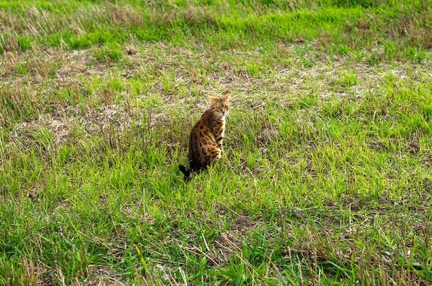 Красивая бенгальская кошка сидит на летнем лугу в зеленой траве.