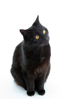 Красивая черная кошка позирует