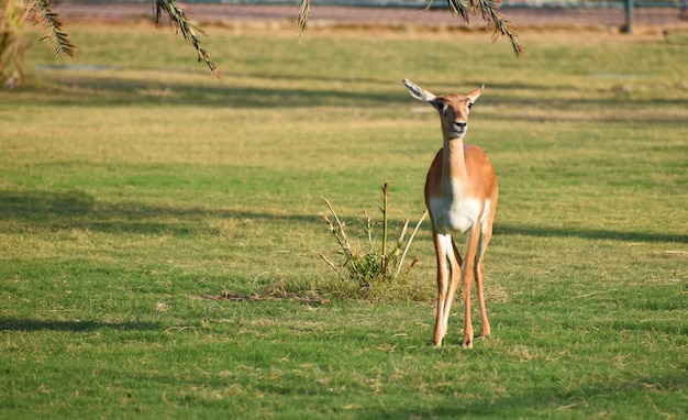 Красивая антилопа блэкбак