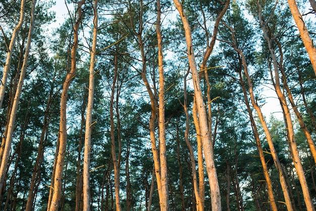 Красивый вид снизу на вершины сосен в еловом лесу на заре теплого летнего солнечного яркого дня